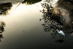 Duża biała ptasia czapla na rzece pełno odbicia i cień Zdjęcie Stock