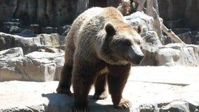 Duża brown niedźwiedzia klauzura zdjęcie royalty free