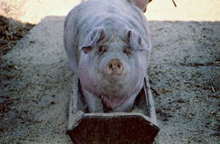 Duża brudna świnia wspinająca się w dozownika i odpoczywająca tam Zdjęcia Stock