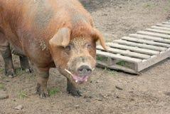 Duża brudna świniowata wieprzowina Zdjęcia Stock