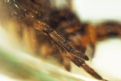 Duża brzydka odbija się pająk tarantula siedzi na ziemi na białym tle dorosły kosmaty wilczego pająka czołganie zamknięty w górę obraz royalty free