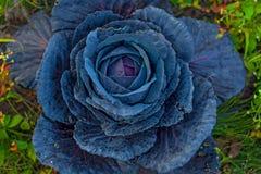 Duża czerni głowa kapusta w ogródzie r fotografia royalty free