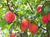 Duża czerwona śliwka Wyśmienicie podśmietanie owoc i cukierki zdjęcia stock