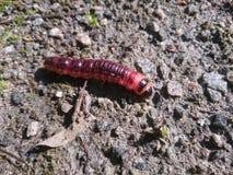 Duża czerwona gąsienica Zdjęcie Royalty Free