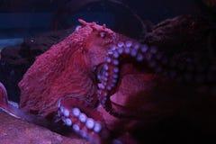 Duża czerwona gigantyczna ośmiornica w oceanie fotografia royalty free