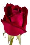 Duża czerwona jedwab róża odizolowywająca na bielu Zdjęcie Royalty Free