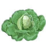 Duża dojrzała kapusta z liśćmi Wektorowy warzywo ilustracja wektor