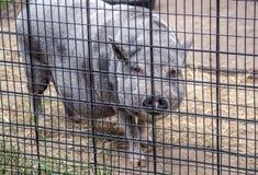 Duża garnka brzucha świnia na gospodarstwie rolnym obrazy royalty free
