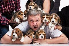 Duża grupa beagle szczeniaki i mężczyzna obrazy stock