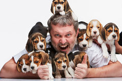 Duża grupa beagle szczeniaki i mężczyzna obraz stock