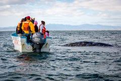 Duża grupa turyści ogląda dużego popielatego wieloryba pływać wokoło w morzu Baj Kalifornia obraz stock