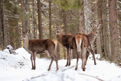 Duża i piękna czerwonego rogacza kobieta podczas jeleniego bekowiska w natury siedlisku w republika czech, europejscy zwierzęta,  Obrazy Royalty Free