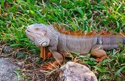 Duża iguana Zdjęcie Royalty Free