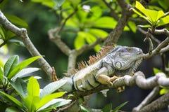 Duża iguana Obrazy Stock