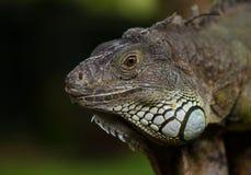 Duża iguana Obraz Royalty Free
