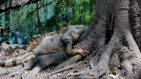 Duża iguana zostaje na drzewie tokuje zbiory wideo