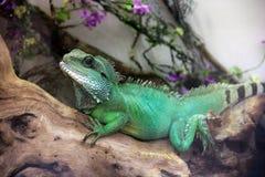 Du?a jaszczurka w terrarium zdjęcie stock