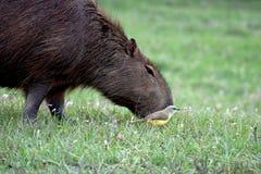 Duża kapibara i mały benteveo w Salto Grande jeziorze zdjęcie royalty free
