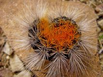 Duża kosmata gąsienica Zdjęcie Royalty Free