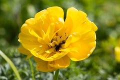 Duża kwiat dalia w kolorze żółtym z tulipanami na łóżku Fotografia Stock