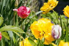 Duża kwiat dalia w kolorze żółtym z tulipanami na łóżku Zdjęcia Royalty Free