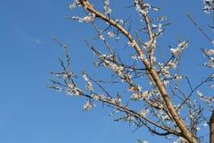Duża kwitnie wiśni gałąź Obrazy Royalty Free