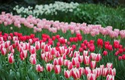Duża kwota kolorowi tulipany w wiośnie zdjęcia royalty free