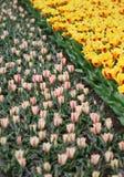 Duża kwota kolorowi tulipany w wiośnie zdjęcia stock