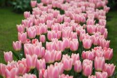 Duża kwota kolorowi tulipany w wiośnie obraz stock