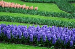 Duża kwota purpurowi błękit menchii hiacynty Zdjęcia Royalty Free