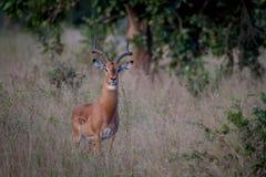 Duża męska Impala pozycja w trawie Obraz Stock