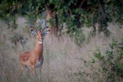 Duża męska Impala pozycja w trawie Zdjęcia Royalty Free
