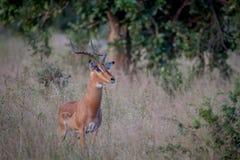 Duża męska Impala pozycja w trawie Obraz Royalty Free