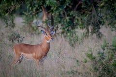 Duża męska Impala pozycja w trawie Zdjęcie Stock