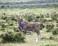 Duża męska kudu antylopa Obrazy Royalty Free