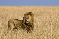 Duża męska lew pozycja w sawannie Park Narodowy Kenja Tanzania Maasai Mara kmieć fotografia royalty free