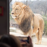 Duża męska lew pozycja, zadziwiający przygody przedstawienie zaludniać i tr, Fotografia Stock