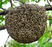 Duża mrowie pszczoła na drzewie zdjęcia royalty free