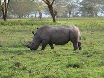 Duża nosorożec Zdjęcia Royalty Free