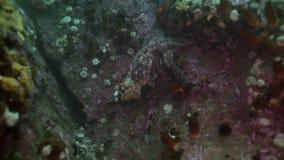 Duża ośmiornica w kamiennym dnie morskim w poszukiwaniu jedzenia zdjęcie wideo