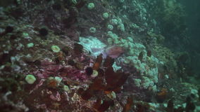 Duża ośmiornica w kamiennym dnie morskim w poszukiwaniu jedzenia zbiory