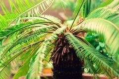 Duża palma przy kwiatu garnka zbliżeniem fotografia royalty free