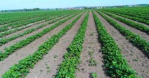 Duża plantacja truskawki, truskawki pole, ampuła utrzymywał truskawki pole zbiory