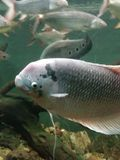 Duża popielata scray ryba w zbiorniku obrazy royalty free