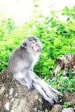 Duża poważna małpa siedzi na skale Obrazy Royalty Free