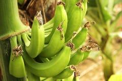 Duża ręka zieleni banany na drzewko palmowe gałąź przed zbiera sezonem Obraz Stock