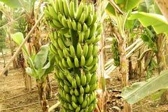 Duża ręka zieleni banany na drzewko palmowe gałąź przed zbiera sezonem Fotografia Stock