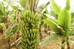 Duża ręka zieleni banany na drzewko palmowe gałąź przed zbiera sezonem Obrazy Stock