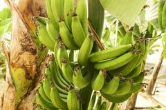 Duża ręka zieleni banany na drzewko palmowe gałąź przed zbiera sezonem Fotografia Royalty Free