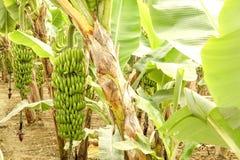 Duża ręka zieleni banany na drzewko palmowe gałąź przed zbiera sezonem Zdjęcia Stock